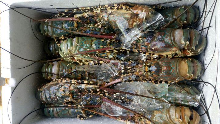 storing lobster in refrigerator