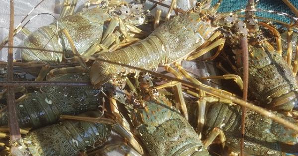 storing lobster